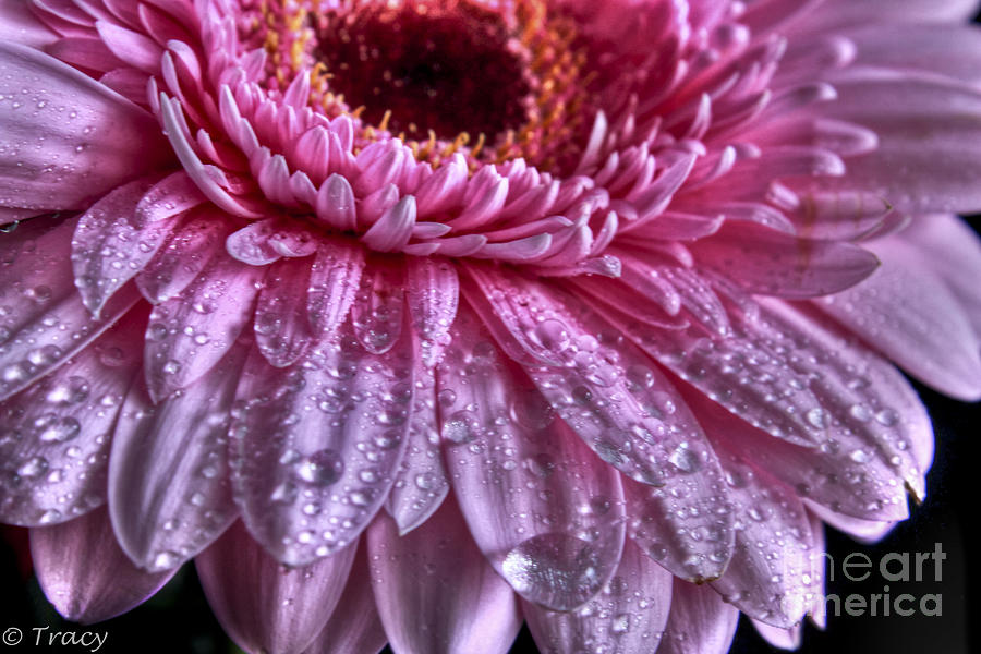 Gerbera Photograph - Pink Petals by Tracy  Hall