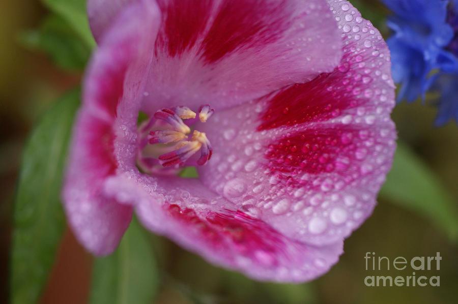 Pink Rain Flower 1 Photograph