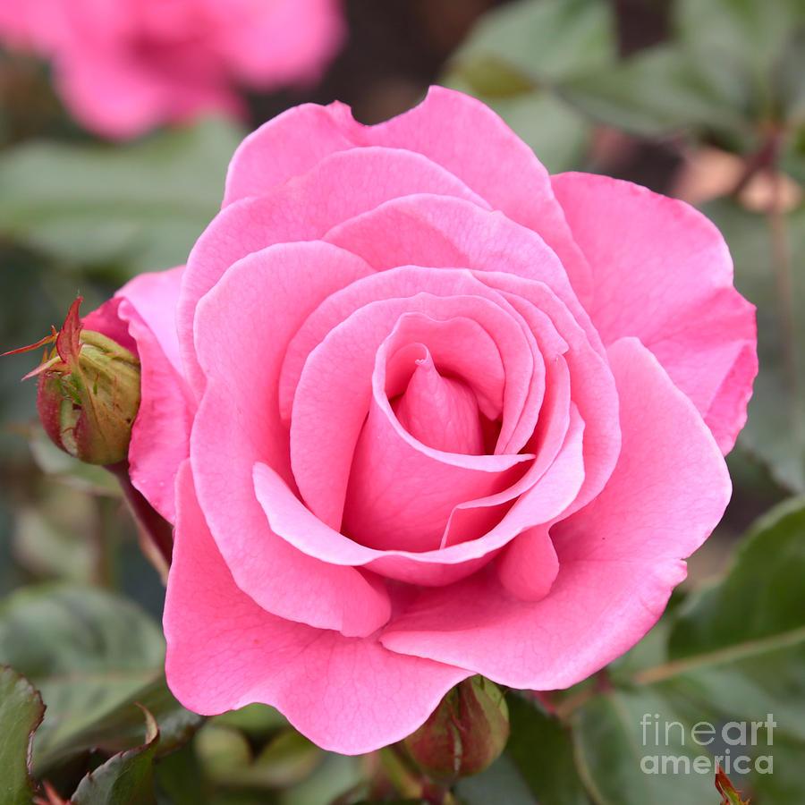 Pink Rose Photograph By Carol Groenen