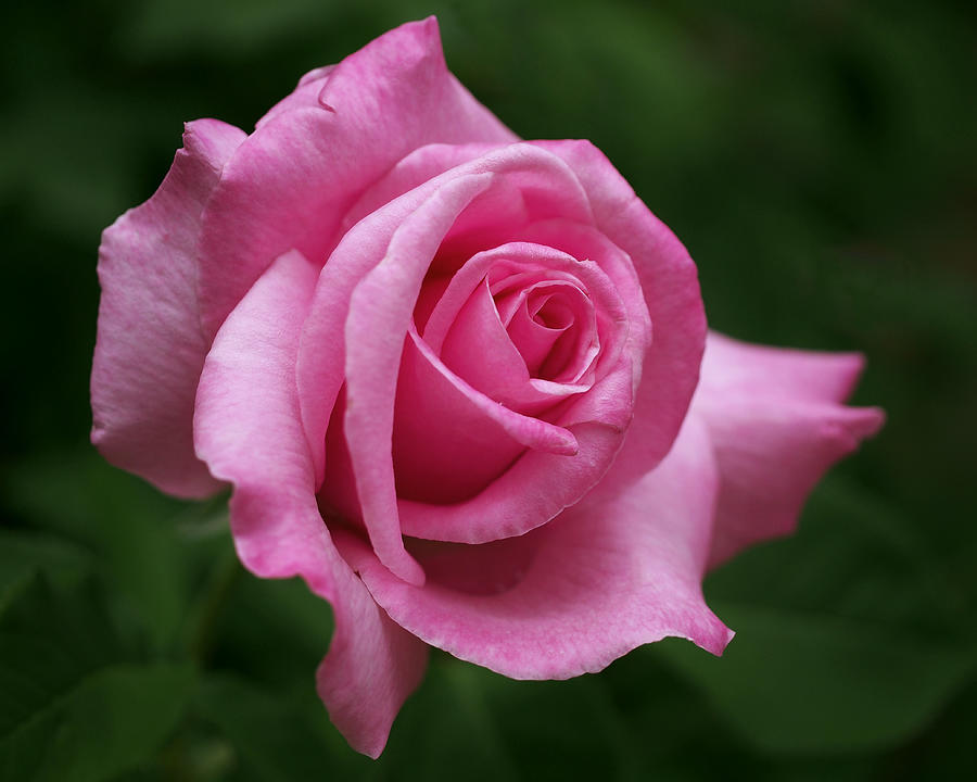 Pink Rose Perfection Photograph