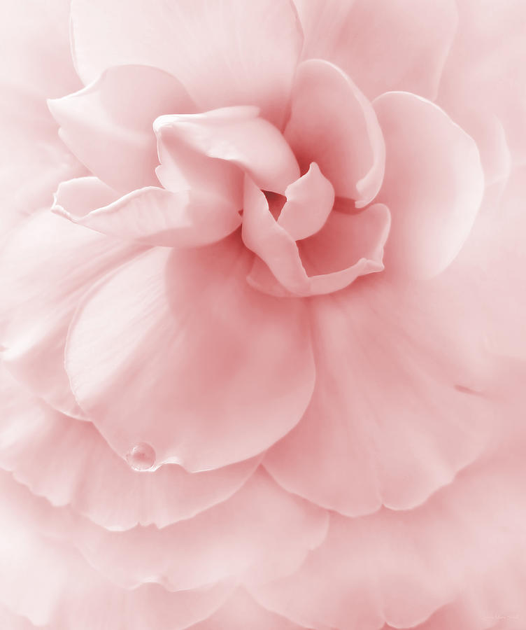 Pink Ruffled Begonia Flower Photograph