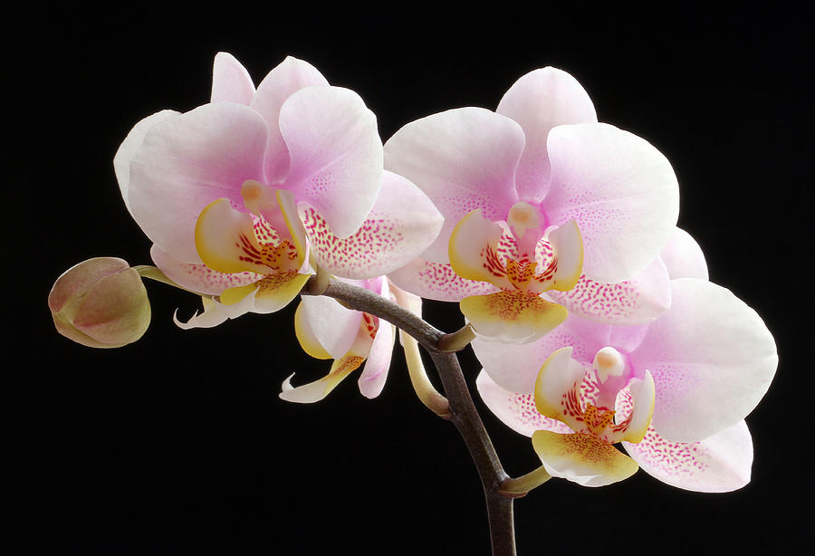 Orchid Photograph - Pink Sensations by Juergen Roth