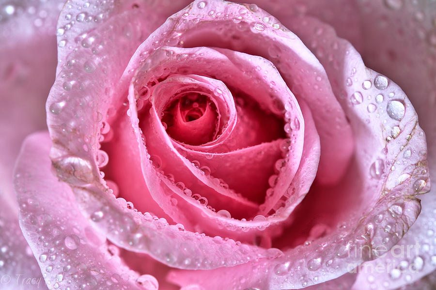 Pink Photograph - Pink Shimmering Rose by Tracy  Hall