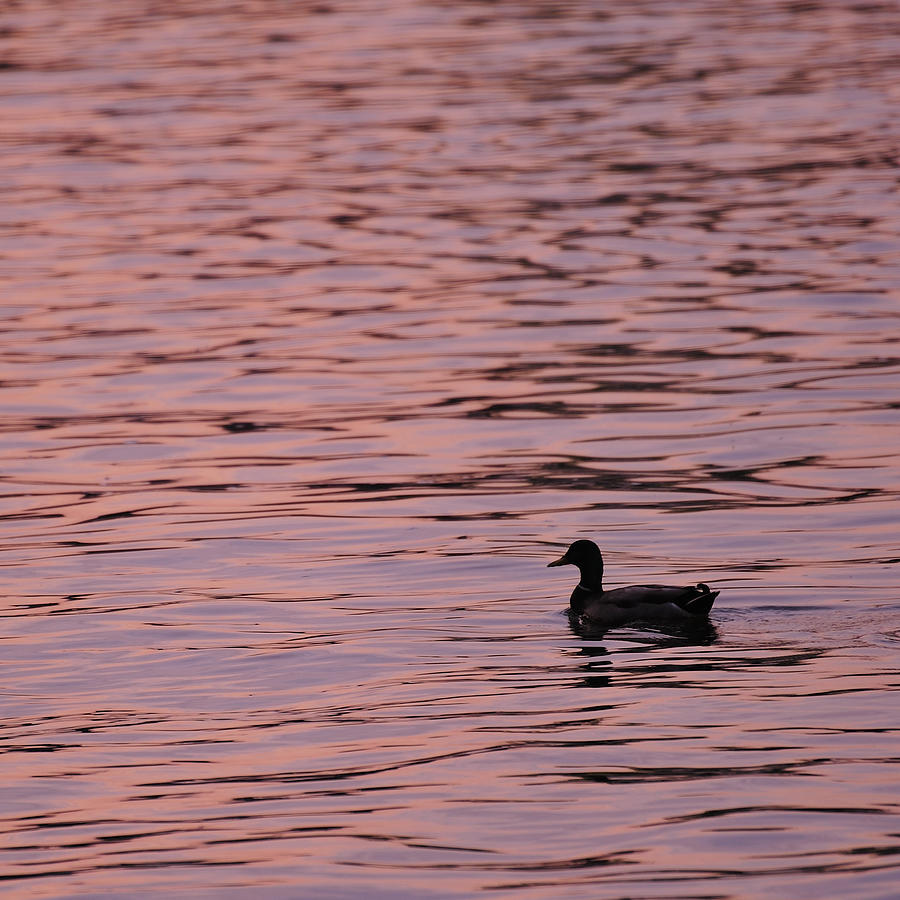 Pink Sunset With Duck In Silhouette Photograph  - Pink Sunset With Duck In Silhouette Fine Art Print