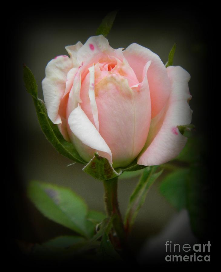 Pink Tea Rose Photograph  - Pink Tea Rose Fine Art Print