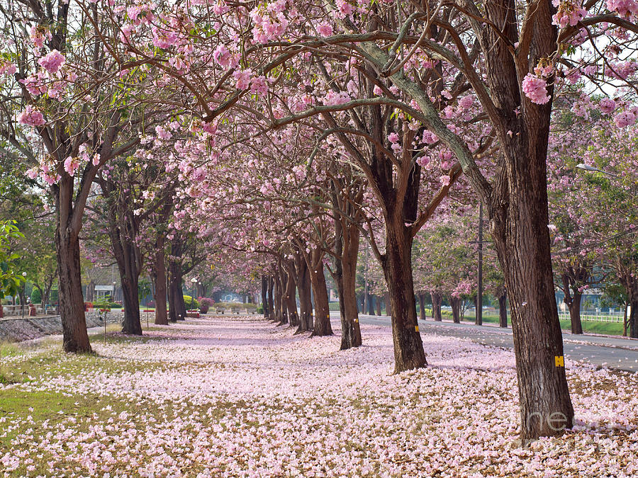 Pink Trumpet Tree is a photograph by Sarun T which was uploaded on ...