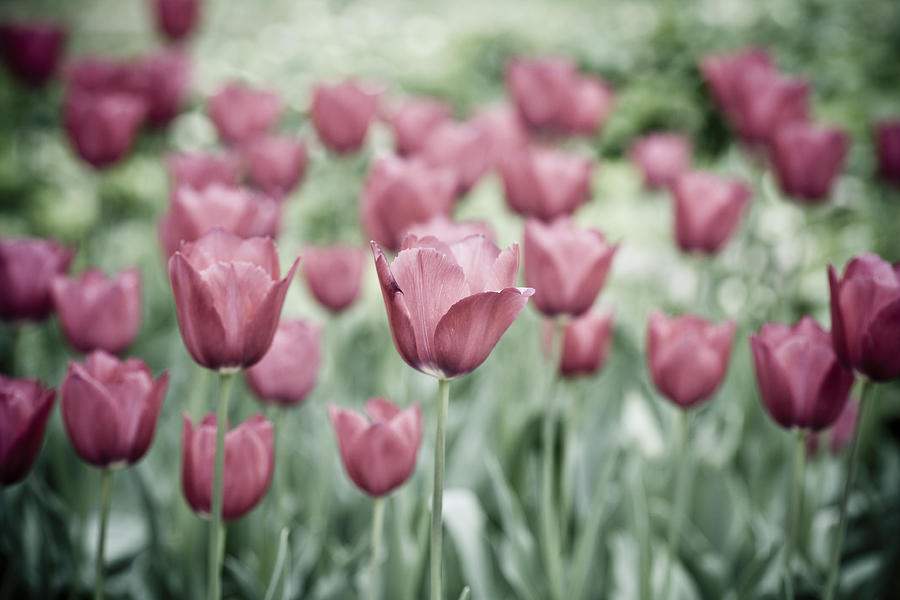 Pink Tulip Field Photograph