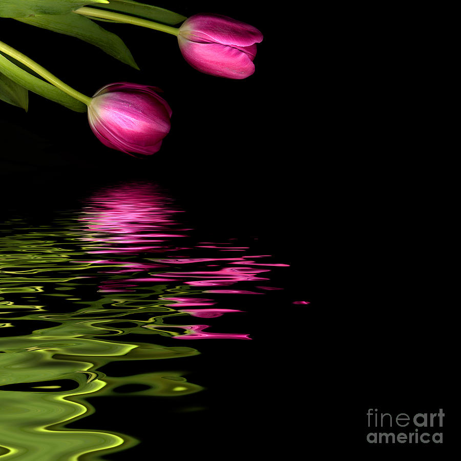 Pink Tulip Photograph