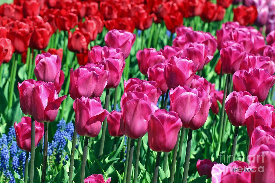 Pink Tulips Photograph