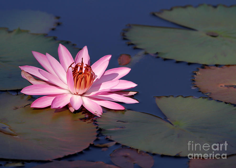 Pink Water Lily In The Spotlight Photograph  - Pink Water Lily In The Spotlight Fine Art Print