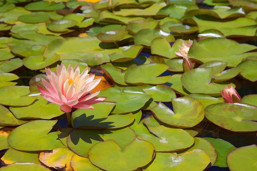 Pink Waterlilies In Koi Pond Mixed Media