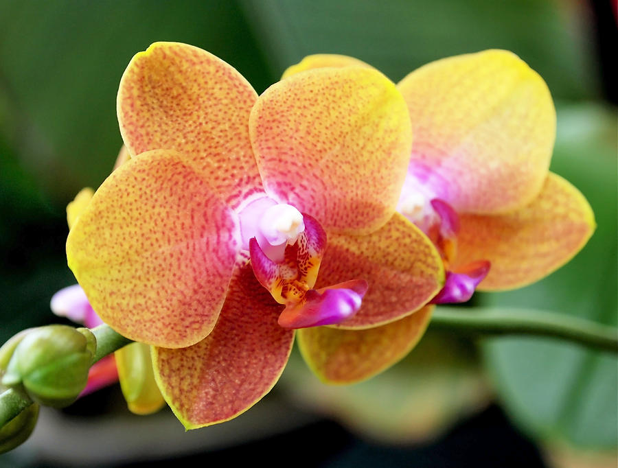 Pink Yellow Orchid Photograph  - Pink Yellow Orchid Fine Art Print