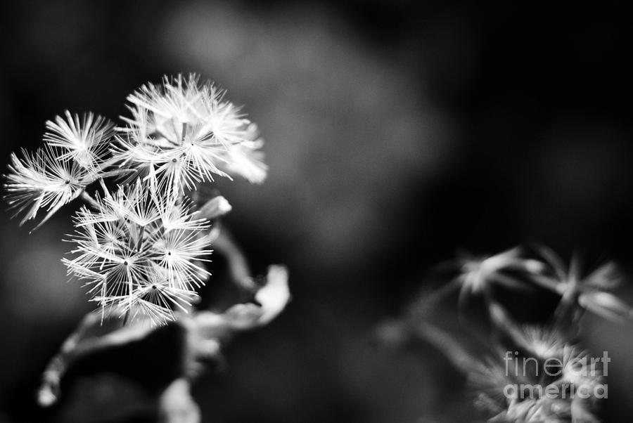 Dandelions Photograph - Pinwheels by Barbara Shallue
