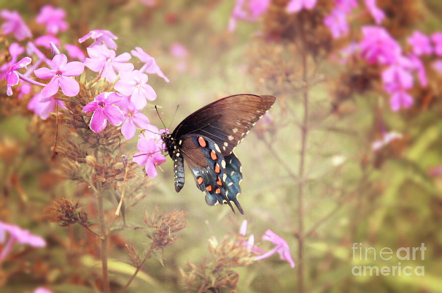 Butterfly Photograph - Pipevine Swallowtail Butterfly by Lena Auxier