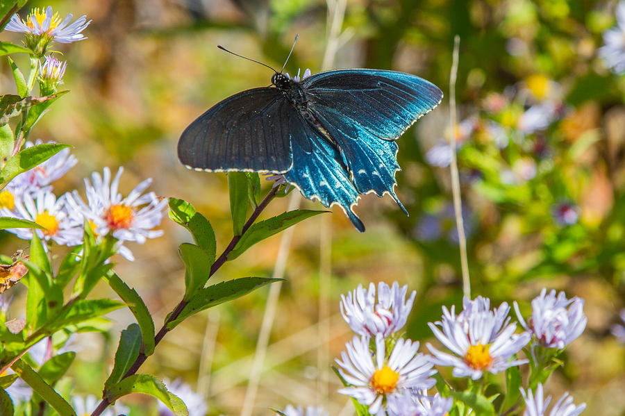 Pipevine Swallowtail On Asters Photograph  - Pipevine Swallowtail On Asters Fine Art Print