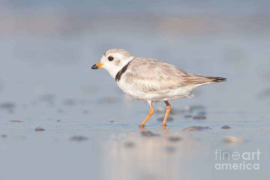 Piping Plover II Photograph