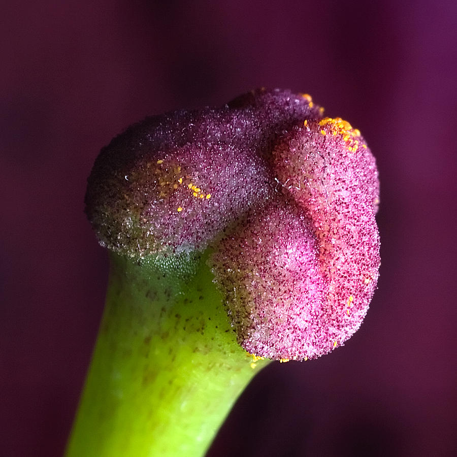 pistil photograph by patti beadles