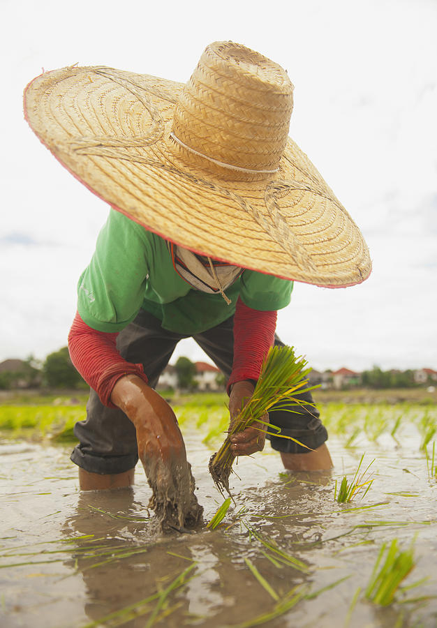 Planting New Ricechiang Mai Thailand Photograph