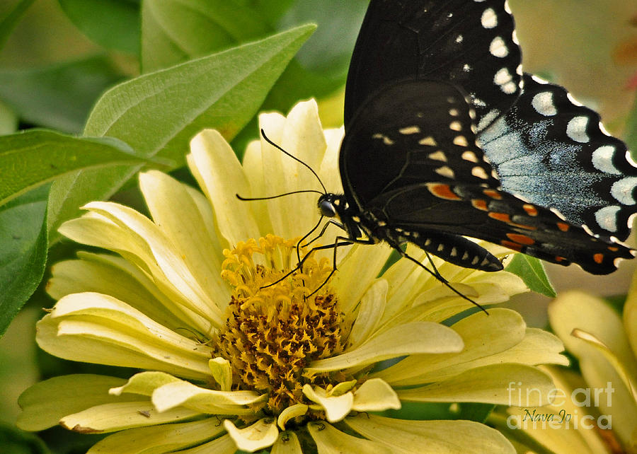 Playing Among The Zinnias Photograph  - Playing Among The Zinnias Fine Art Print