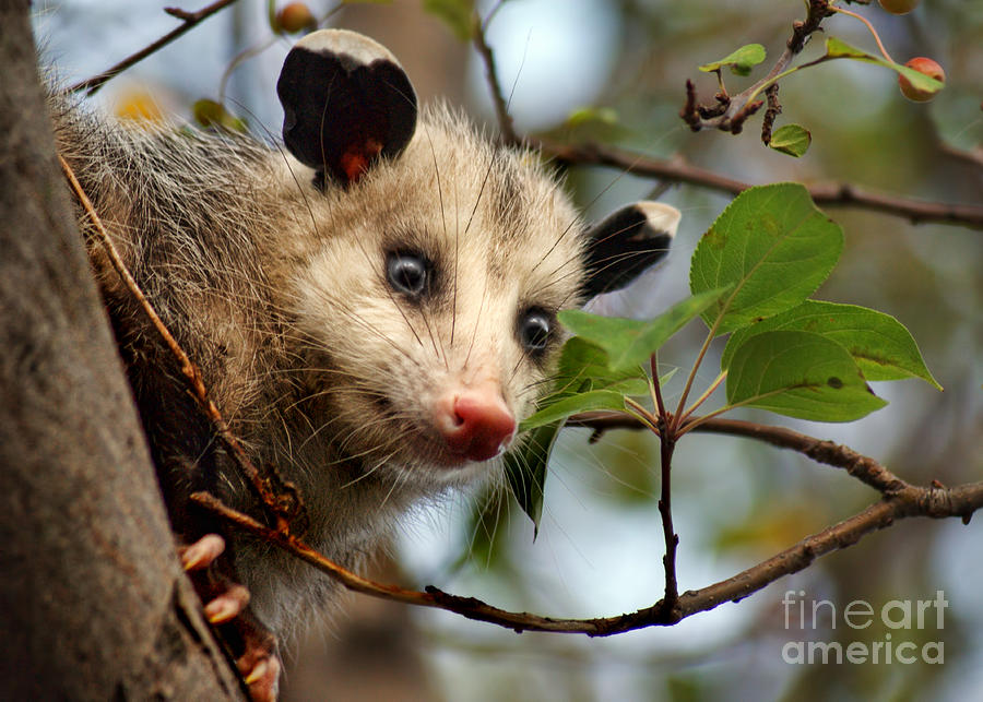 Playing Possum Photograph  - Playing Possum Fine Art Print
