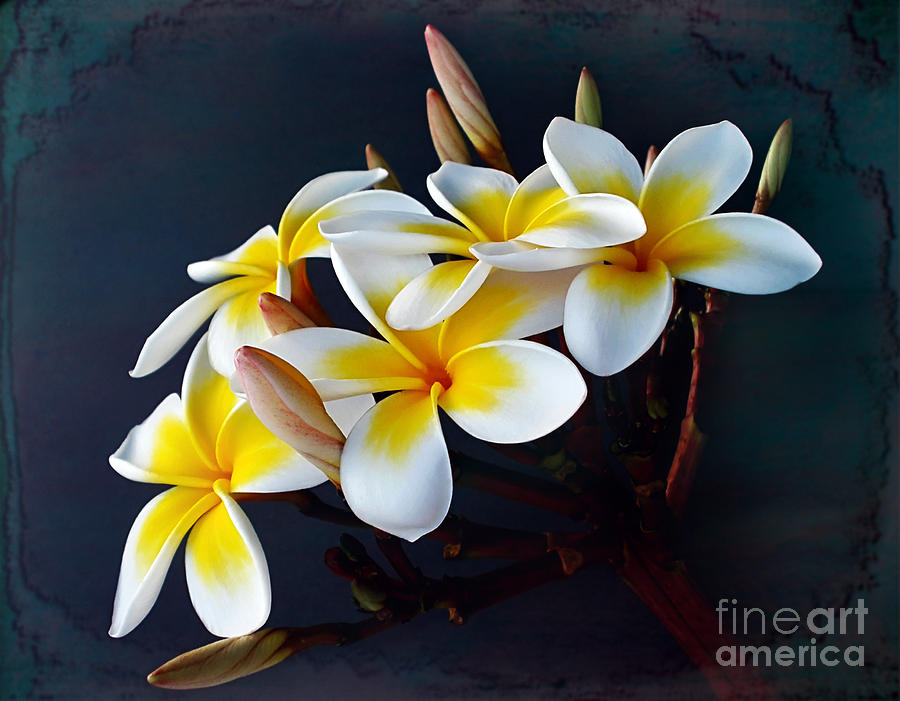 Photography Photograph - Plumeria Bouquet 2 by Kaye Menner