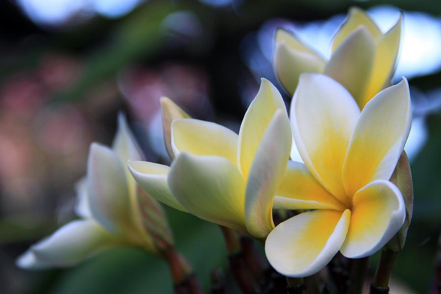 Plumeria Frangipani Sunshine Lei Photograph