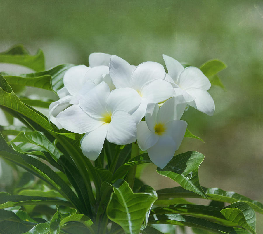Plumeria - Tropical Flowers Photograph