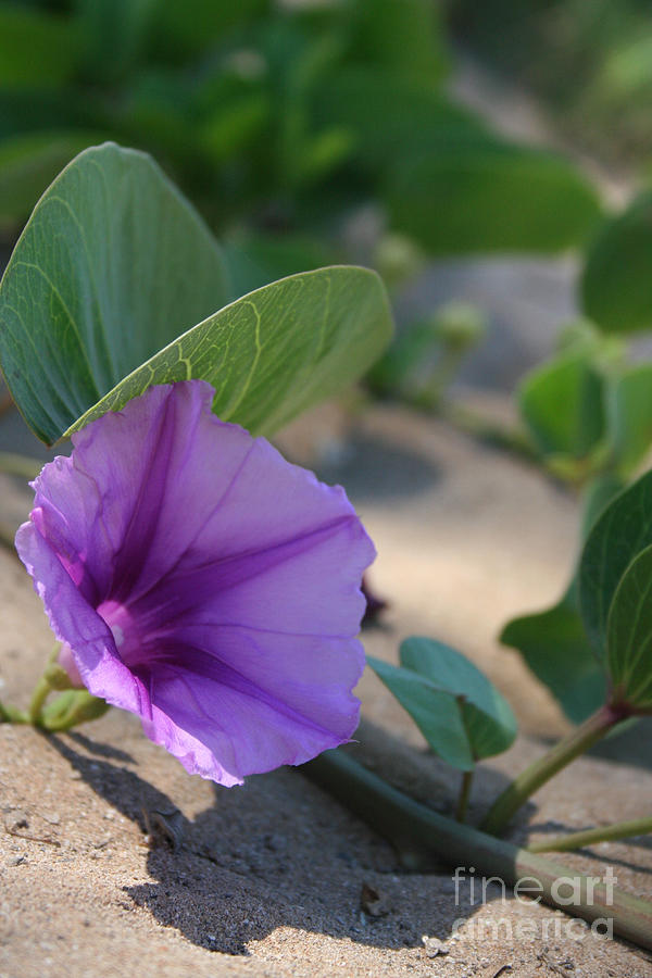 Pohuehue - Pua Nani O Kamaole Hawaii - Beach Morning Glory Photograph  - Pohuehue - Pua Nani O Kamaole Hawaii - Beach Morning Glory Fine Art Print
