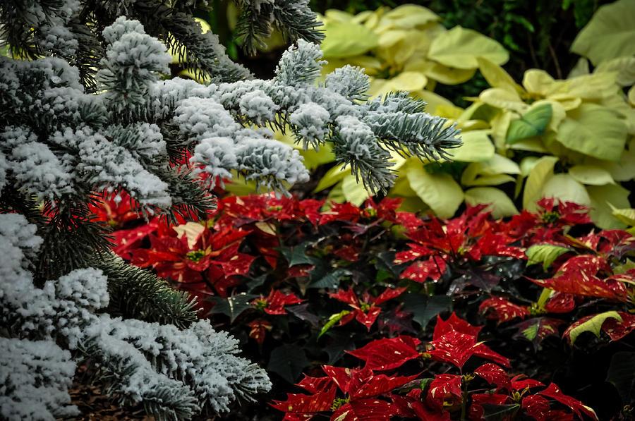Poinsettia Garden Photograph