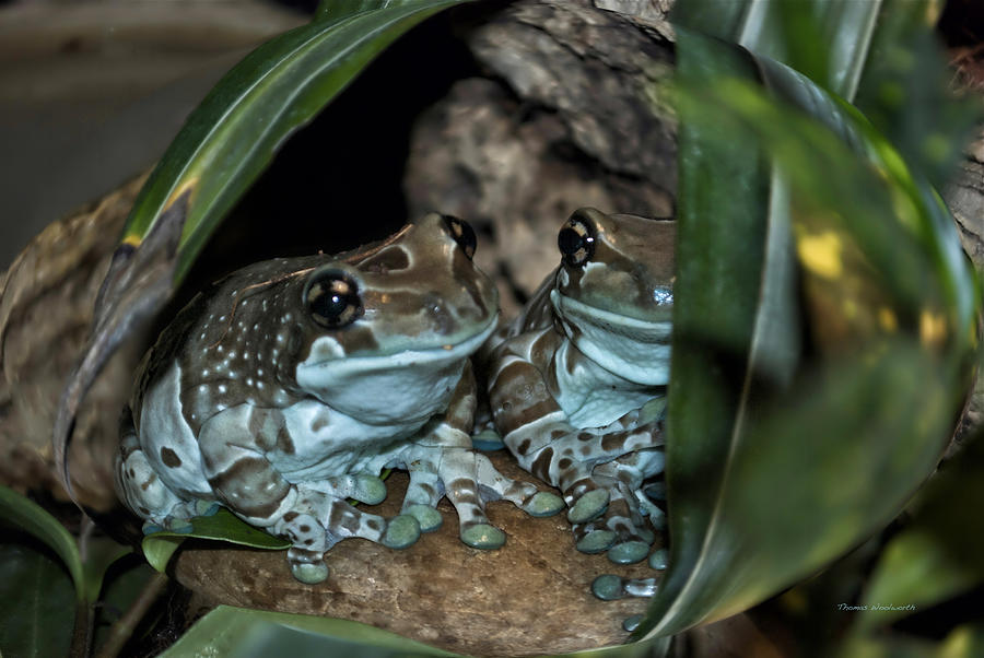 Animals Photograph - Poisonous Frogs With Sticky Feet by Thomas Woolworth