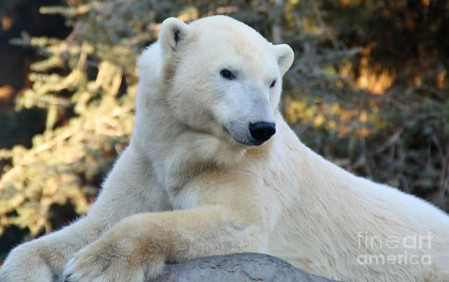Polar Bear Photograph  - Polar Bear Fine Art Print