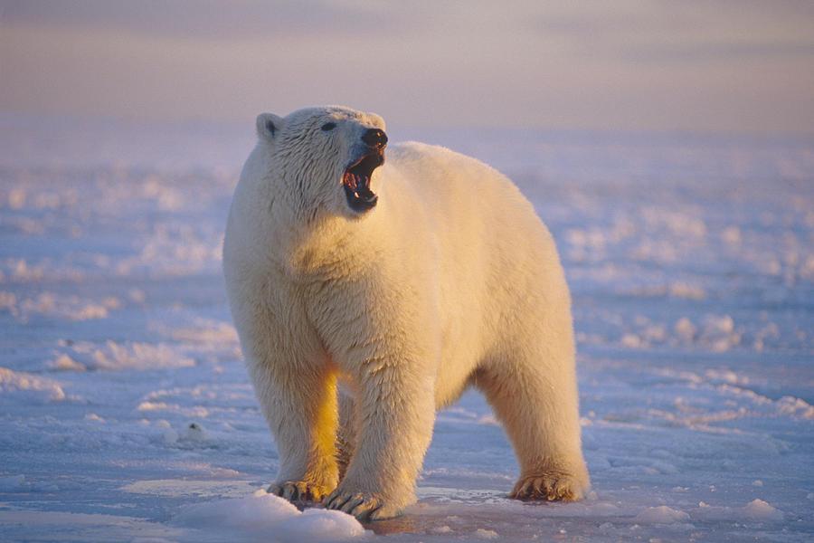 polar bear standing on ice pack photograph by steven kazlowski