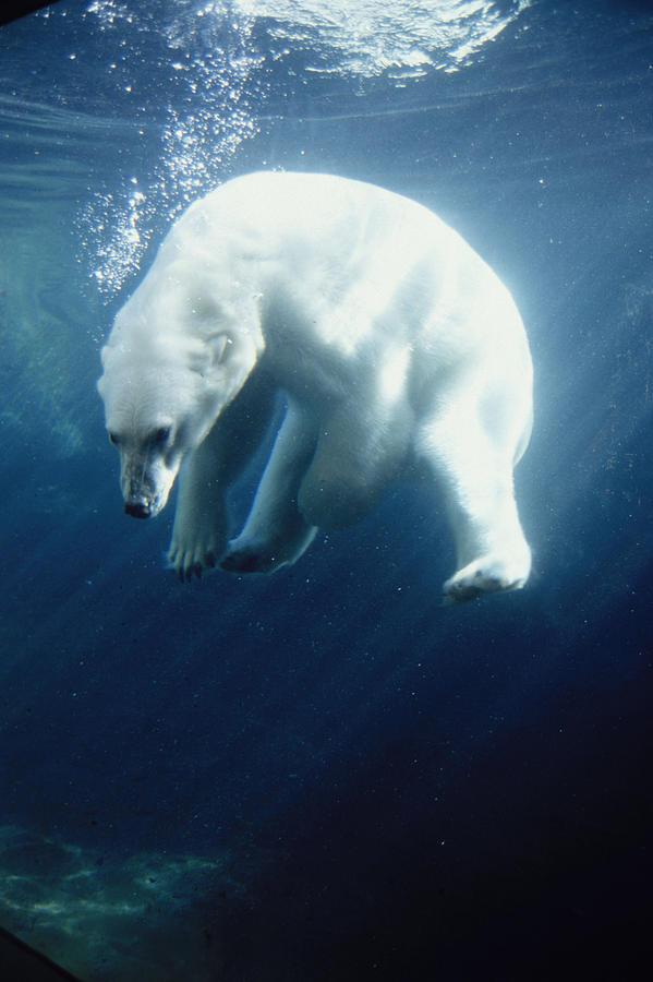 Polar Bear Swimming Underwater Alaska Photograph By Steven