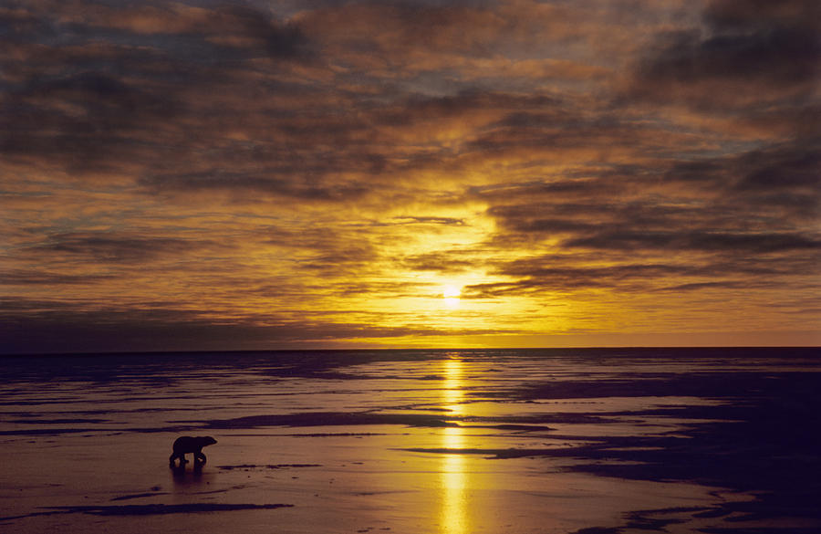 Polar Bear Ursus Maritimus Walking Photograph