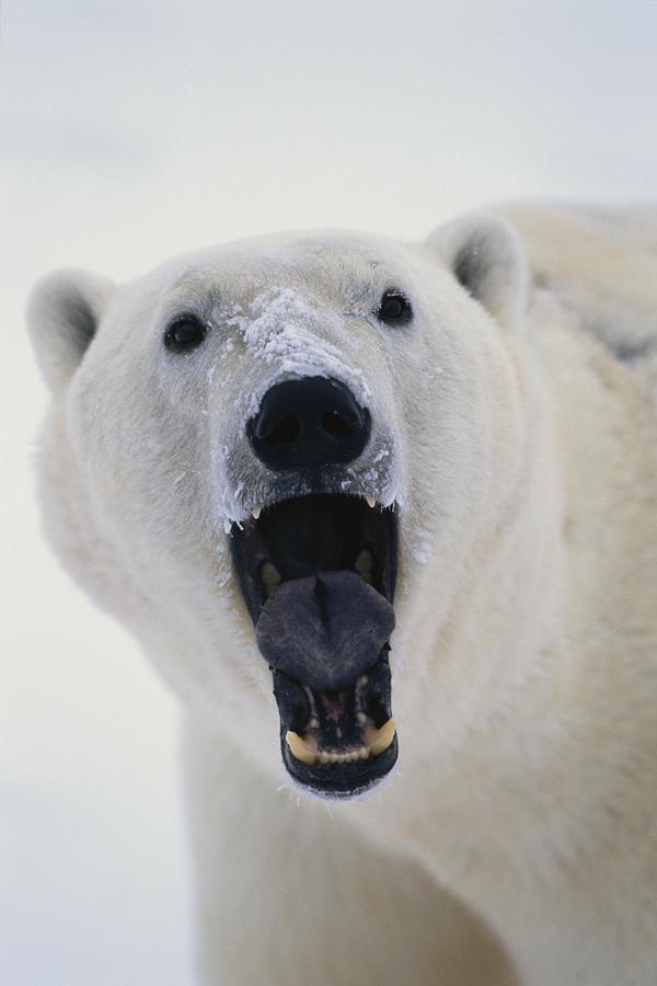 Polar Bear With Open Mouth Cape Photograph By Takayuki Maekawa