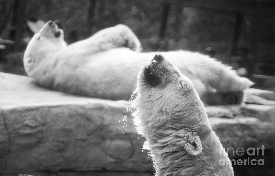 Polar Bears Photograph