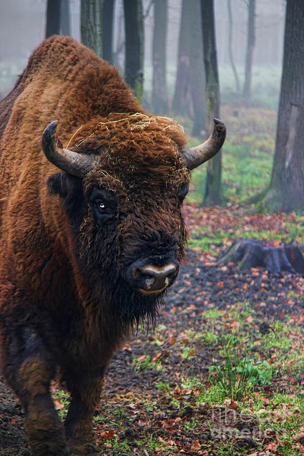 Polish Bison Photograph - Polish Bison by Mariola Bitner