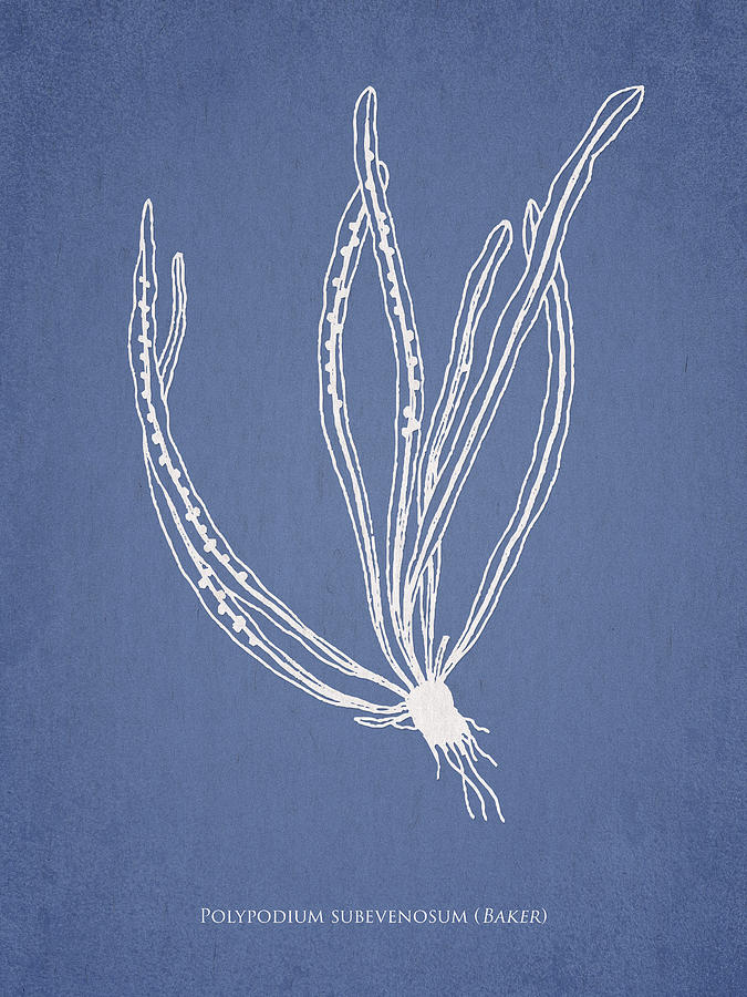 Fern Drawing - Polypodium Subevenosum by Aged Pixel