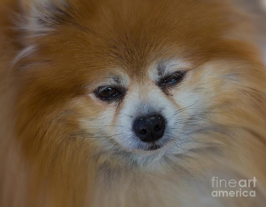 Pomeranian Foxy Lady Photograph
