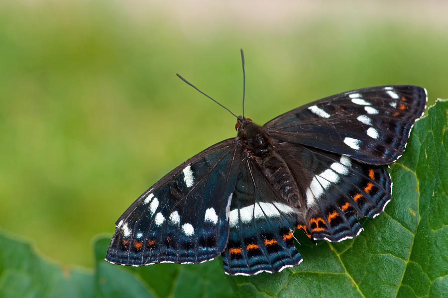 Poplar Admiral Butterfly Photograph - Poplar Admiral by Torbjorn Swenelius