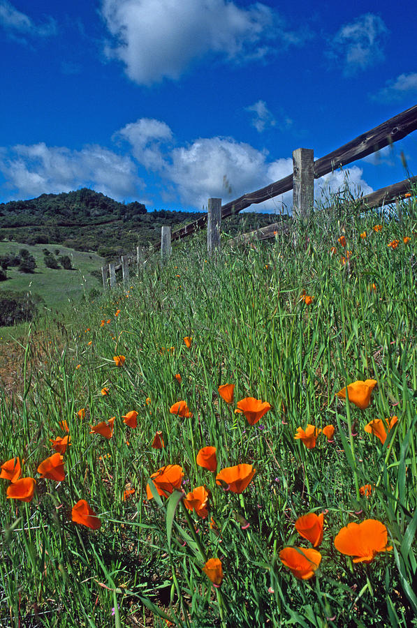 Poppies And The Fence Photograph