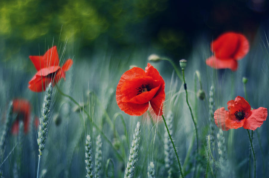 Poppies In The Meadow Photograph