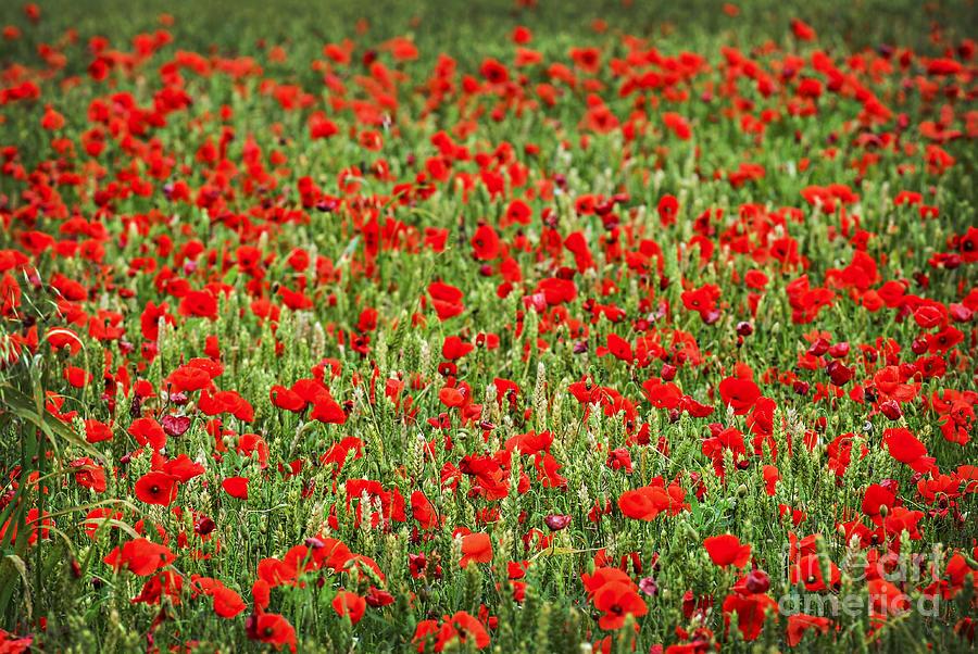 Poppies In Wheat By Elena Elisseeva