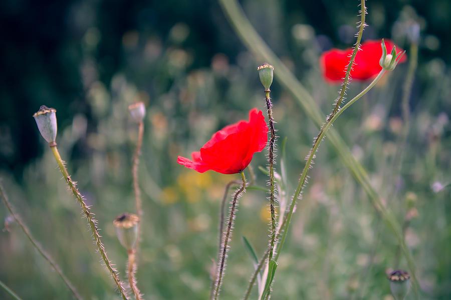 Poppies Photograph