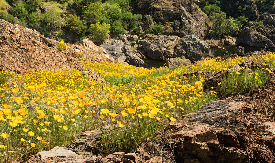 Poppies On The Stanislaus River Photograph