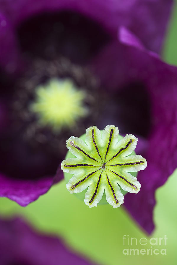 Poppy Abstract Photograph