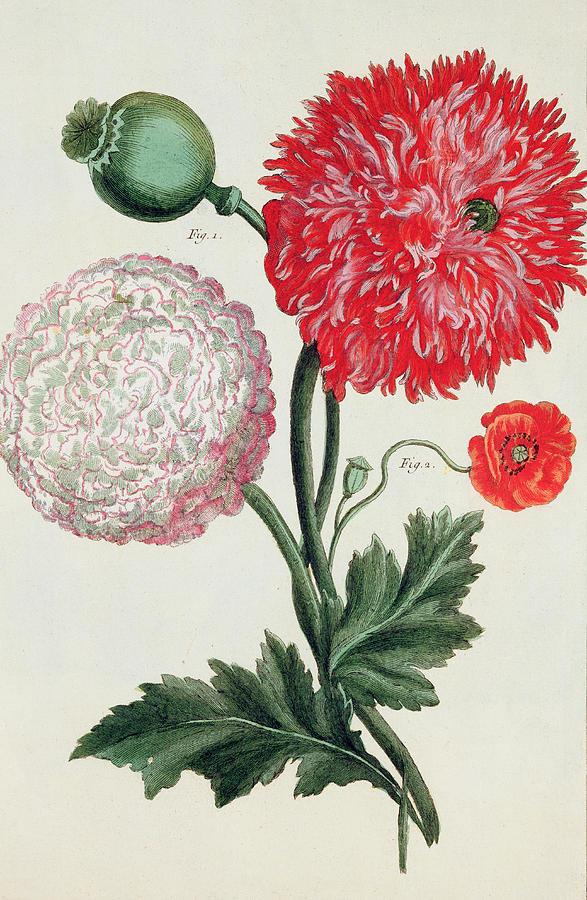 Botany Painting - Poppy by Basilius Besler