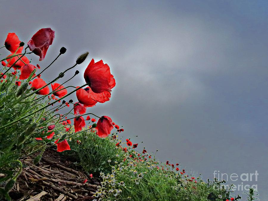 Poppy Field After Summer Storm Photograph