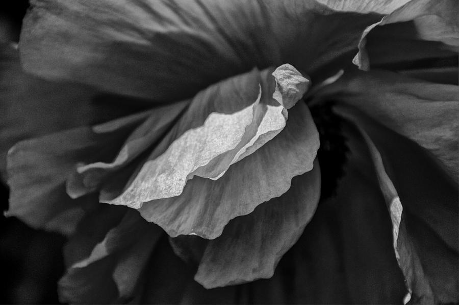 Poppy In Black And White May 2011 Photograph