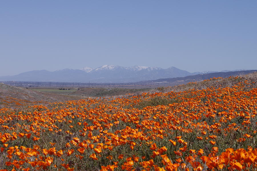 Poppy Land Photograph